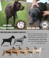 Cane Corso Puppies for sale in Miami, FL, USA. price: NA