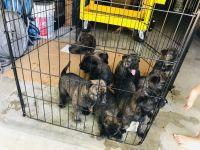 Cane Corso Puppies for sale in Wheat Ridge, CO, USA. price: NA