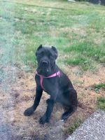 Cane Corso Puppies for sale in Port Orchard, WA 98367, USA. price: NA
