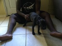 Cane Corso Puppies for sale in Houston, TX 77044, USA. price: NA