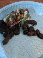 Cane Corso Puppies for sale in Freeland, MI 48623, USA. price: NA