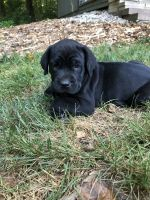 Cane Corso Puppies for sale in Lancaster, PA, USA. price: NA