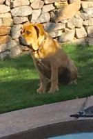 Cane Corso Puppies for sale in Fort Mohave, AZ, USA. price: NA
