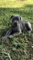 Cane Corso Puppies for sale in Washington, PA 15301, USA. price: NA