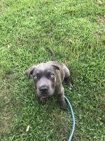 Cane Corso Puppies for sale in Atascocita, TX 77346, USA. price: NA