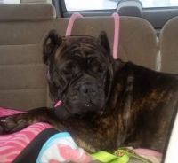 Cane Corso Puppies for sale in Girard, OH, USA. price: NA
