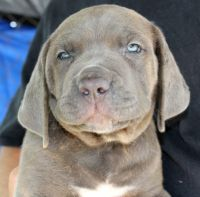 Cane Corso Puppies for sale in Lumber City, GA 31549, USA. price: NA