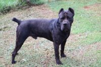 Cane Corso Puppies for sale in 725 Cemetery Rd, Cowpens, SC 29330, USA. price: NA