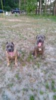 Cane Corso Puppies for sale in Santee, SC 29142, USA. price: NA