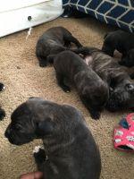 Cane Corso Puppies for sale in Lilburn, GA 30047, USA. price: NA