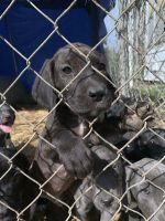 Cane Corso Puppies for sale in St Joseph, MO, USA. price: NA