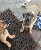 Cane Corso Puppies for sale in Loma Linda, CA, USA. price: NA