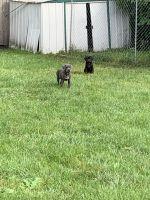 Cane Corso Puppies for sale in Markham, IL, USA. price: NA