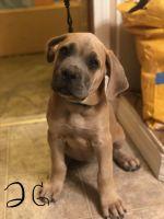 Cane Corso Puppies for sale in Sunnyside, WA, USA. price: NA