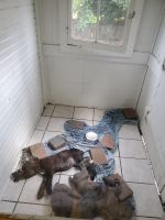 Cane Corso Puppies for sale in DuBois, PA 15801, USA. price: NA
