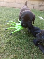 Cane Corso Puppies for sale in Chino Hills, CA, USA. price: NA