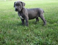 Cane Corso Puppies for sale in Spencerville, IN 46788, USA. price: NA