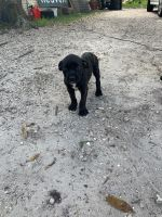 Cane Corso Puppies for sale in Tampa, FL, USA. price: NA