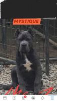 Cane Corso Puppies for sale in Brewster, NY 10509, USA. price: NA