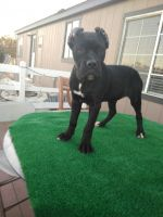Cane Corso Puppies for sale in Phelan, CA 92371, USA. price: NA