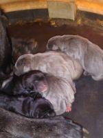 Cane Corso Puppies for sale in Montgomery, AL, USA. price: NA