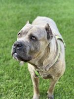 Cane Corso Puppies for sale in Annapolis, MD, USA. price: NA