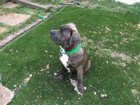 Cane Corso Puppies for sale in Richmond, CA, USA. price: NA
