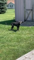 Cane Corso Puppies for sale in Eaton, OH 45320, USA. price: NA