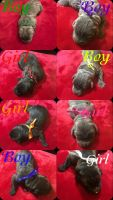 Cane Corso Puppies for sale in Waldorf, MD, USA. price: NA