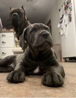 Cane Corso Puppies for sale in Long Island, New York, USA. price: NA