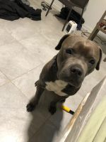 Cane Corso Puppies for sale in Oxon Hill, MD, USA. price: NA
