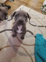 Cane Corso Puppies for sale in Temple Hills, MD, USA. price: NA