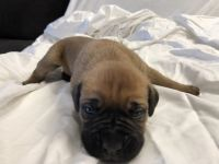 Cane Corso Puppies for sale in Mariposa, CA 95338, USA. price: NA