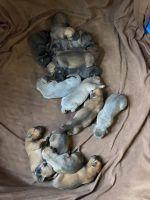 Cane Corso Puppies for sale in Yakima, WA, USA. price: NA