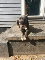 Cane Corso Puppies for sale in 206 Laws Ave, Chattanooga, TN 37411, USA. price: NA