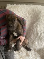 Cane Corso Puppies for sale in Painesville, OH 44077, USA. price: NA