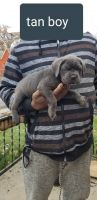 Cane Corso Puppies for sale in Detroit, MI, USA. price: NA
