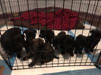 Cane Corso Puppies for sale in Detroit, MI 48205, USA. price: NA