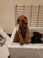 Cane Corso Puppies for sale in 987 E 78th St, Cleveland, OH 44103, USA. price: NA