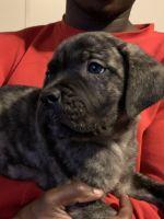 Cane Corso Puppies for sale in Ypsilanti, MI 48198, USA. price: NA