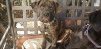 Cane Corso Puppies for sale in Suisun City, CA, USA. price: NA