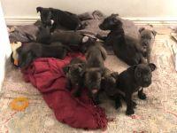 Cane Corso Puppies for sale in 4588 Malta St, Denver, CO 80249, USA. price: NA