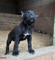 Cane Corso Puppies for sale in Palmdale, CA, USA. price: NA