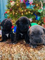 Cane Corso Puppies for sale in New Orleans, LA, USA. price: NA