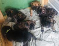 Cane Corso Puppies for sale in Amarillo, TX, USA. price: NA