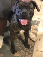 Cane Corso Puppies for sale in Monroeville, PA, USA. price: NA