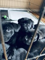 Cane Corso Puppies for sale in Laurinburg, NC 28352, USA. price: NA