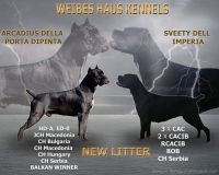 Cane Corso Puppies for sale in Hobbs, NM, USA. price: NA