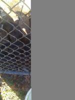 Cane Corso Puppies for sale in 1206 Weston St, North Augusta, SC 29841, USA. price: NA