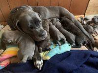 Cane Corso Puppies for sale in Denver, CO 80220, USA. price: NA